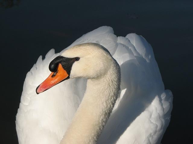 Bird, Swan, White, Elegant, Feather, Water Bird, Water