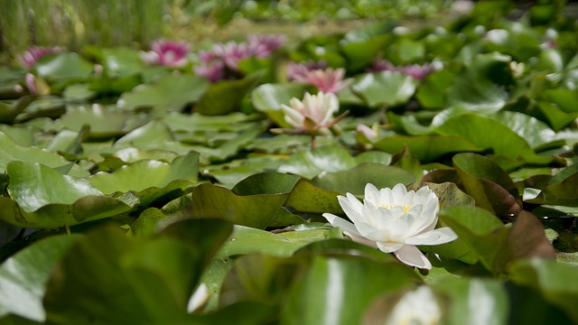 Water Lily, Flower, Aquatic Plant, Bloom, White, Water