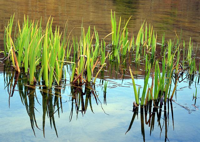 Marsh Iris, Aquatic Plant, Water Flower, Bank, Pond