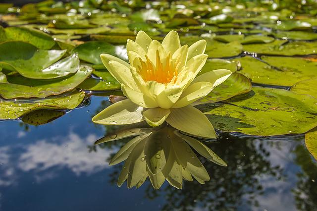 Waterlily, Lake, Flora, Water Flower, Plants