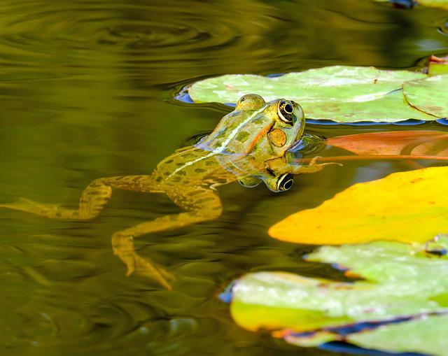 Frog, Water Frog, Frog Pond, Animal, Green, Green Frog