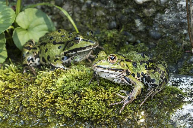 Frogs, Water Frog, Green Frog, Animal, Frog, Amphibian