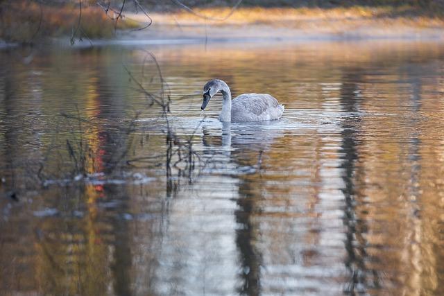 Swan, Gray Swan, Bird, Water Bird, Schwimmvogel, Water