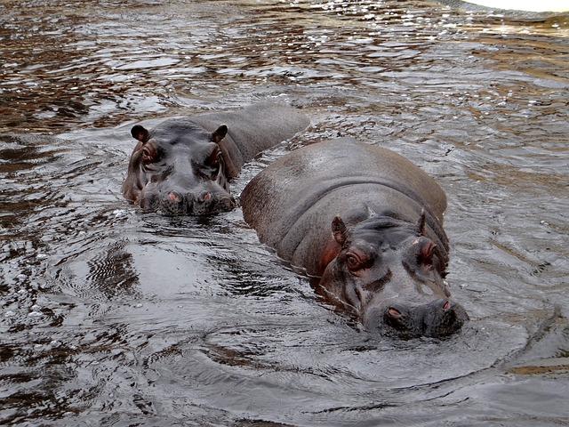 Hippo, Nature, Water, Animal, Swim, Rest, Mammal