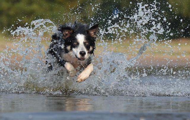 Border Collie, Jump, Water, British Sheepdog, Summer