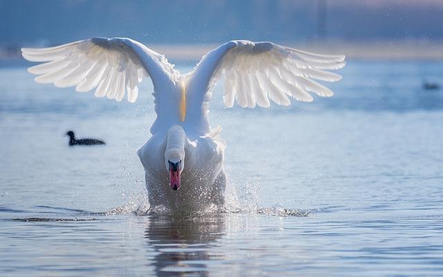 Swan, Flight, Start, Water, Spray, Lake, Water Bird
