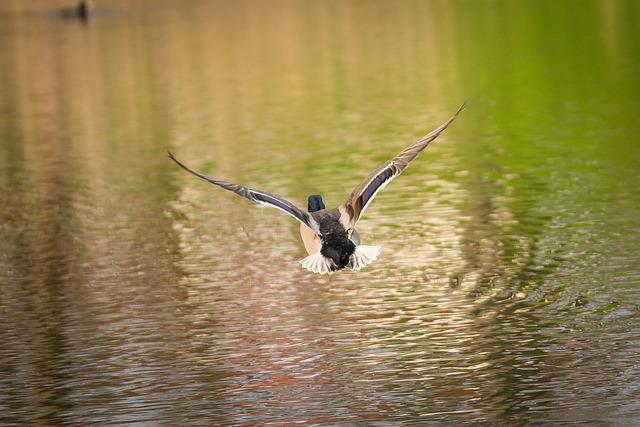 Duck, Lake, Mood, Nature, Water, Water Bird, Animal