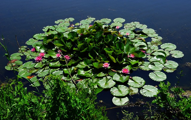 Pond, Water, Water Lilies, Early Summer, Blossom, Bloom