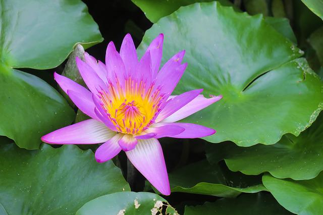 Pond, Lotus, Aquatic Plants, Leaf, Lily, Water Lilies