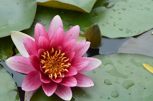 Lotus, Red, Lotus Leaf, Water Lilies