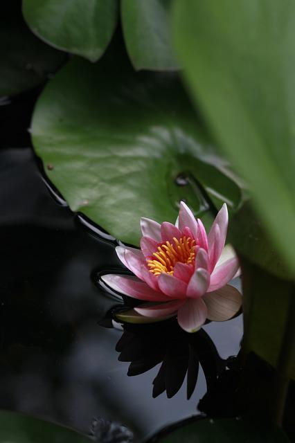 Kite, Lotus, Water Lilies, Nature, Flowers, Pond Plants