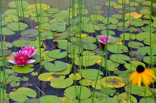 Water Lilies, Pink Beauty, Lily Pond, Frog, Water Frog
