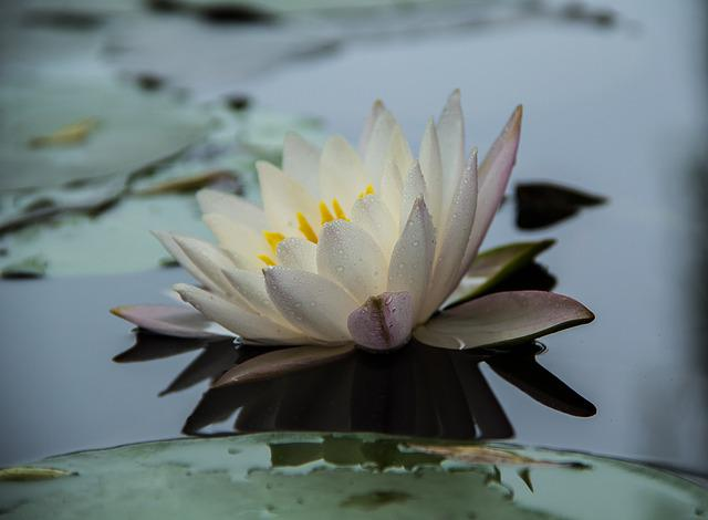 Water Lilies, Early In The Morning, Flowers, Profile