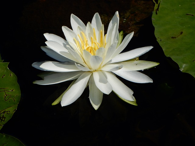 Water Lilly, Lily, Water, Pond, Summer, Flower, Nature