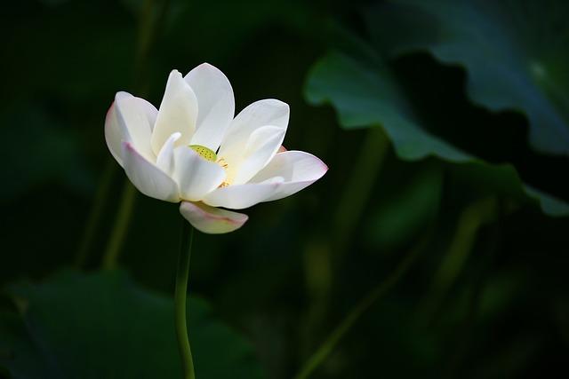Lotus, Water Lily, White Flower, Aquatic Plant, Pond