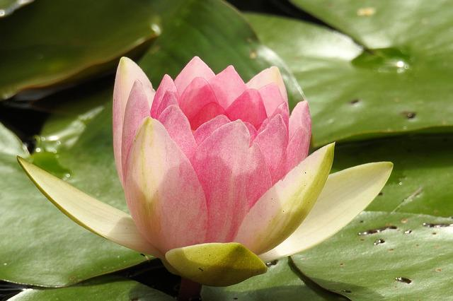 Water Lily, Nuphar Lutea, Pond Plant, Aquatic Plant