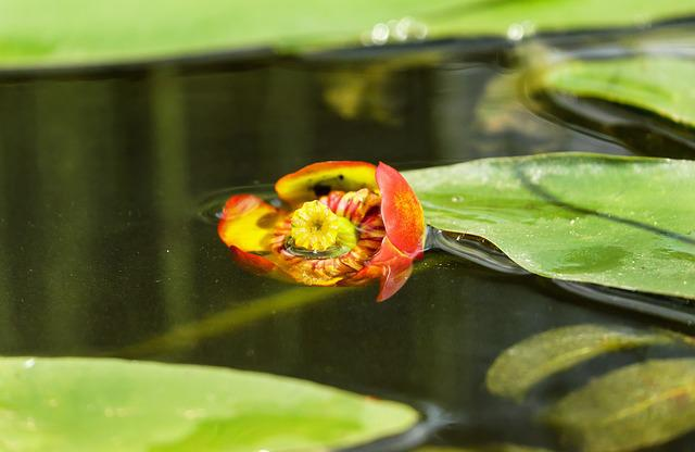 Water Lily, Japanese Pond Rose, Nuphar Japonica, Bloom