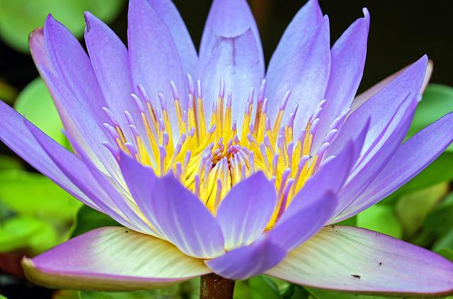 Water Lily, Flower, Bloom, Purple, Aquatic Plant