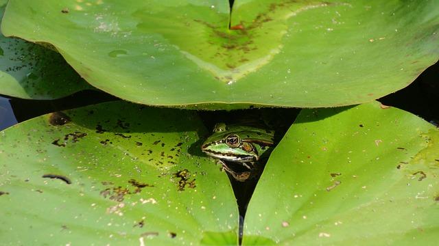 Frog, Amphibian, Water Lily, Peekaboo, Hide-and-seek