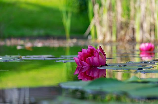Water Lily, Flower, Blossom, Bloom, Pink, Mirroring