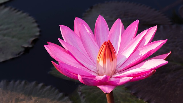 Flowers, Pink Flowers, Water Lily, Pond