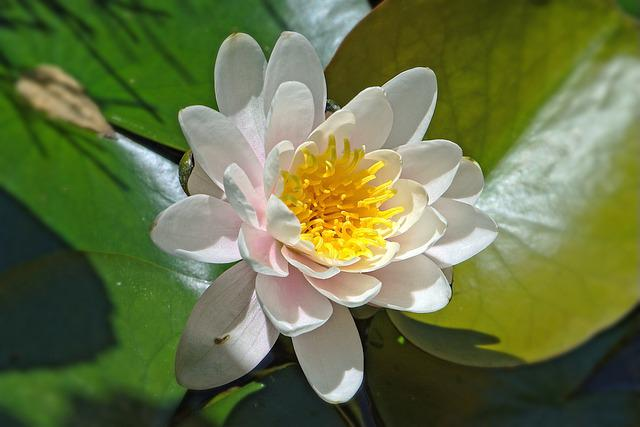 Water Lily, White, Blossom, Bloom, Aquatic Plant, Pond