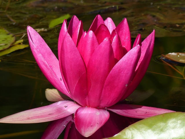 Water Lily, Red, Water, Leaf, Summer