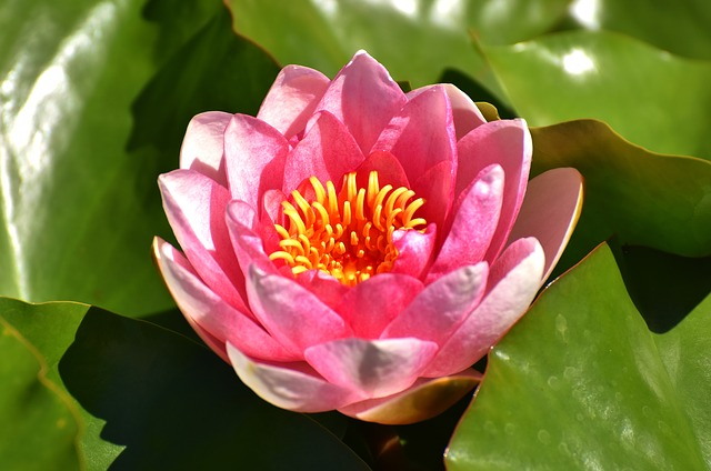 Water Lily, Pink, Summer, Pond Plant, Aquatic Plant