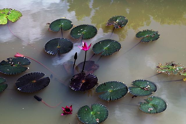 Nature, Water Lily, Pond, Water, Magenta, Plant, Leaf