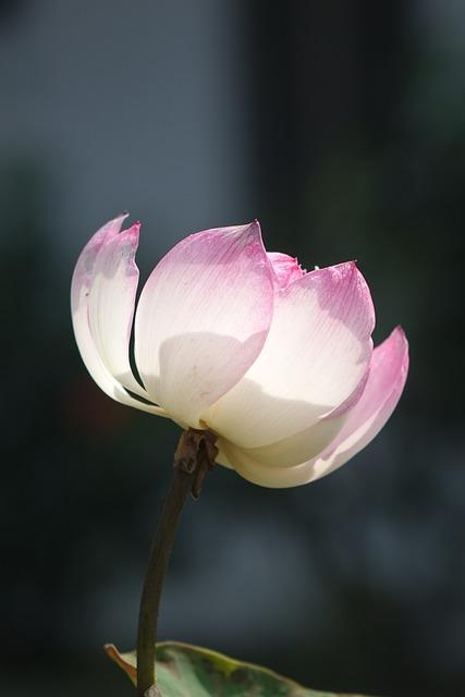 Lotus, Pink, Water Lotus