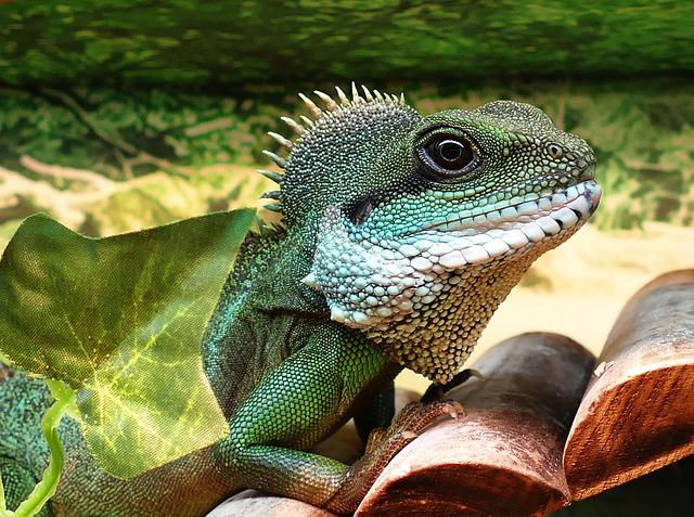 Chinese Water Dragon, Male, Chinese, Dragon, Water