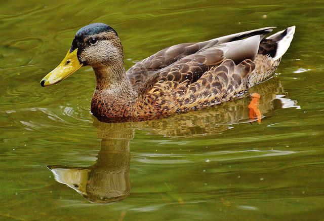 Duck, Waters, Water, Mirroring, Cute, Swim
