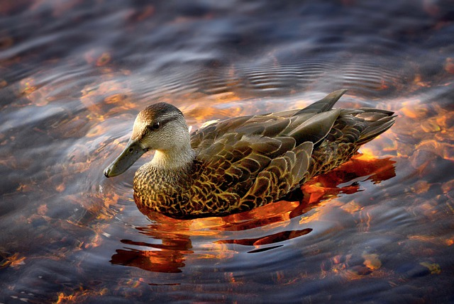 Duck, Black Duck, Lake, Nature, Water, Plumage