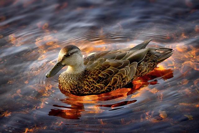 Duck, Black Duck, Lake, Nature, Water, Plumage