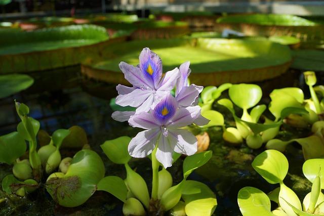 Flowers, Water, Nature, Flower Water, Water Hyacinth