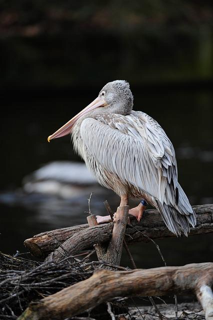 Water, Pelican, Bird, Nature, Wildlife, Animal