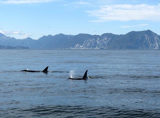Orcas, Fish, Ocean, Undersea World, Sea, Water