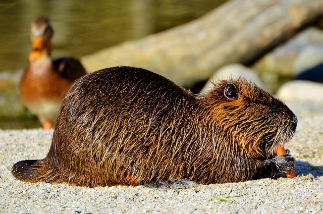 Nutria, Rodent, Water Rat, Species Of Rodent, Waters