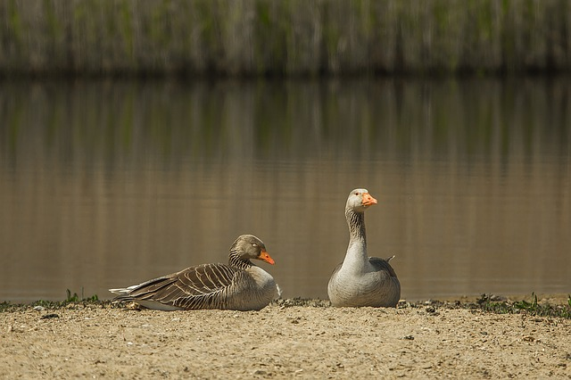 Wild Goose, Water, Nature, Recreation
