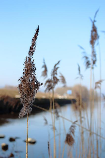 Chiemsee, Water Reed, Blue