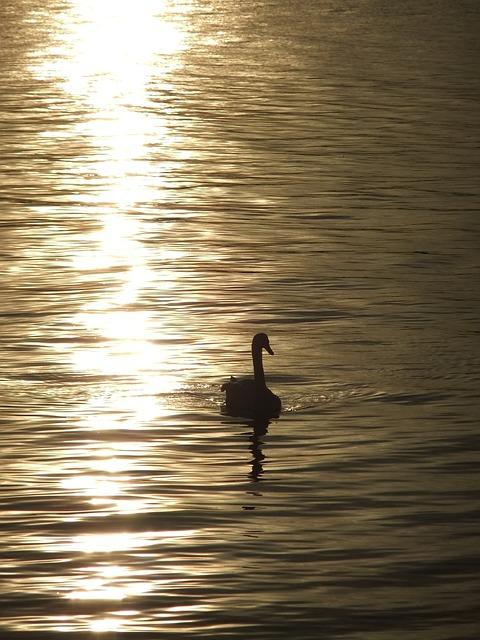 Swan, The Evening Sun, Sunset, Lake, Water, River, Bird