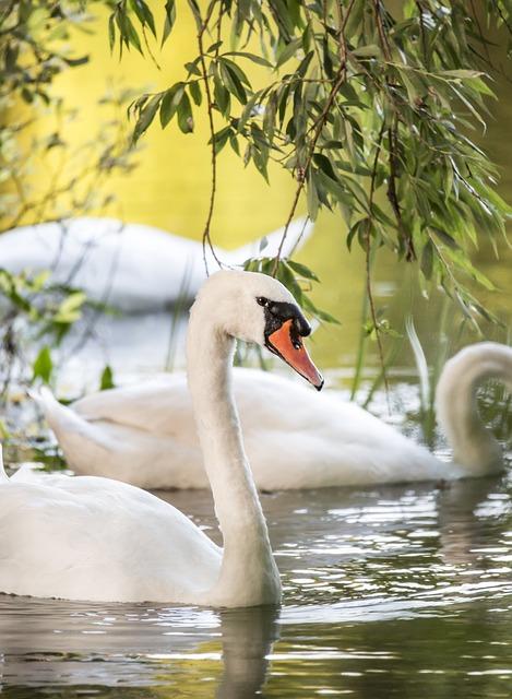 Bird, Nature, River, Swans, Water, White