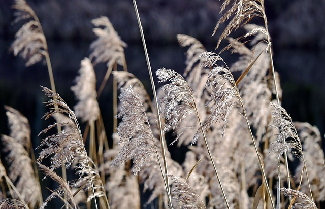 Reed Fronds, Dry, Winter, Water Running