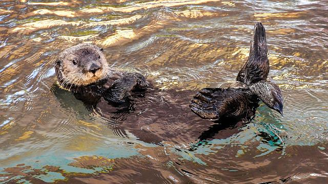 Sea ​​otter, Aquatic Animal, Light, Colorful, Water