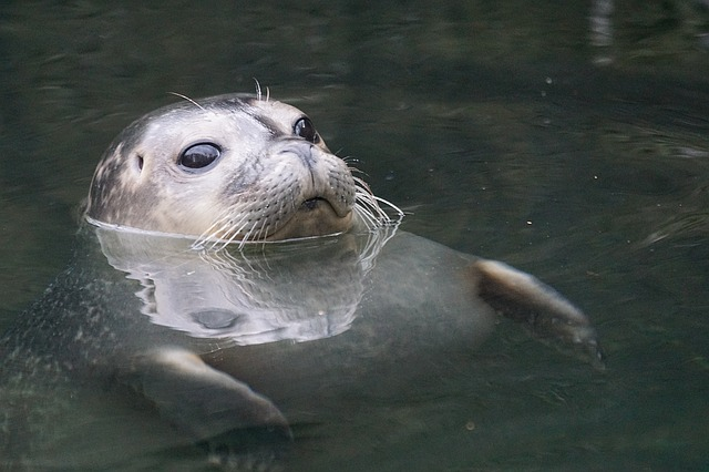 Seal, Water, Robbe, Swim, Animal World, Animals