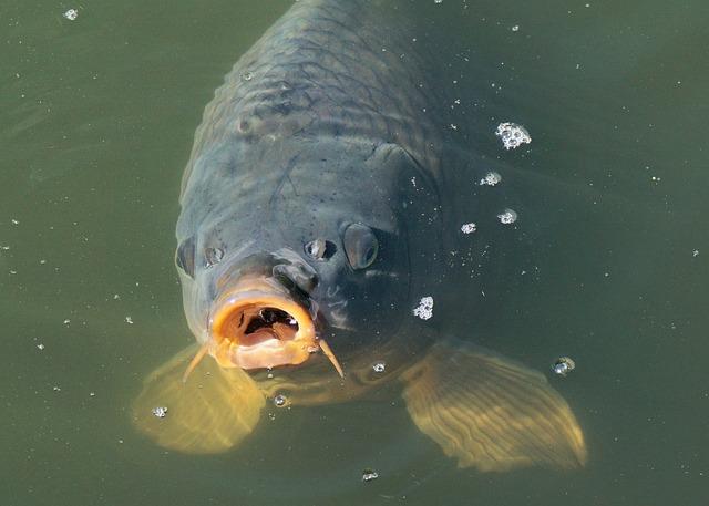 Fish, Carp, Pond, Water, Water Surface, Swim