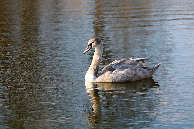Swan, Water, Surface, Waterfowl, Reflection