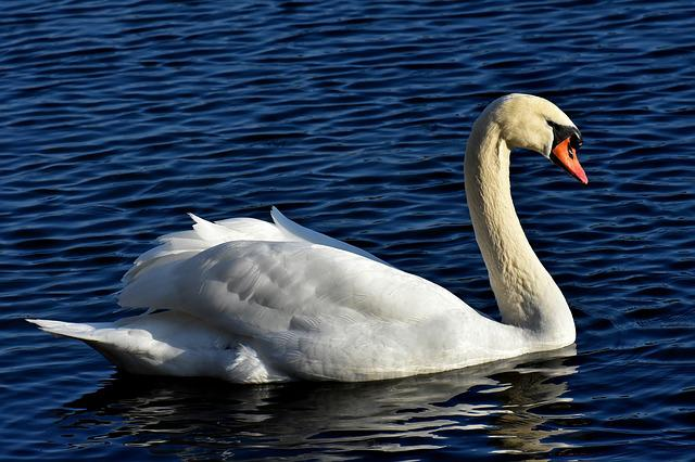Swan, Noble, Animal World, Water, White, Nature, Animal