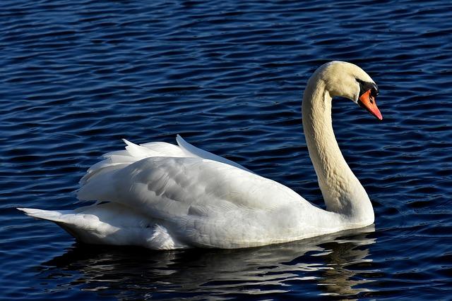 Swan, Noble, Animal World, Water, White, Nature, Animal