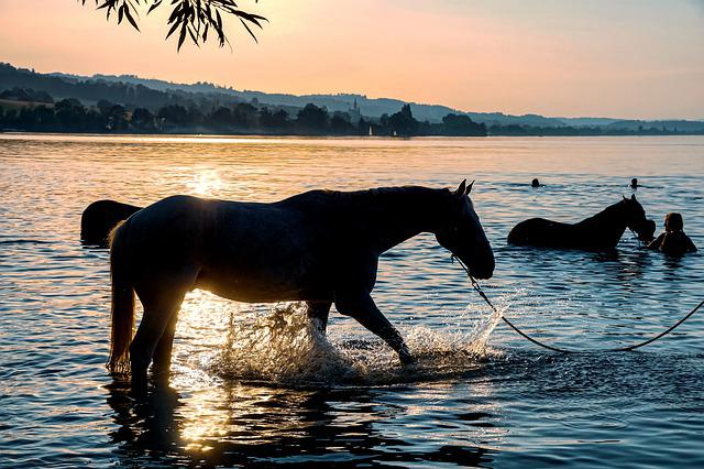 Horses, Swim, Lake, Water, Sunset, Waters, Mood